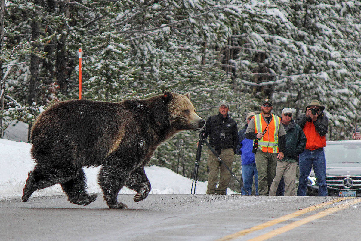Careful management of bears and people in Yellowstone National Park has resulted in habituation with low conflict