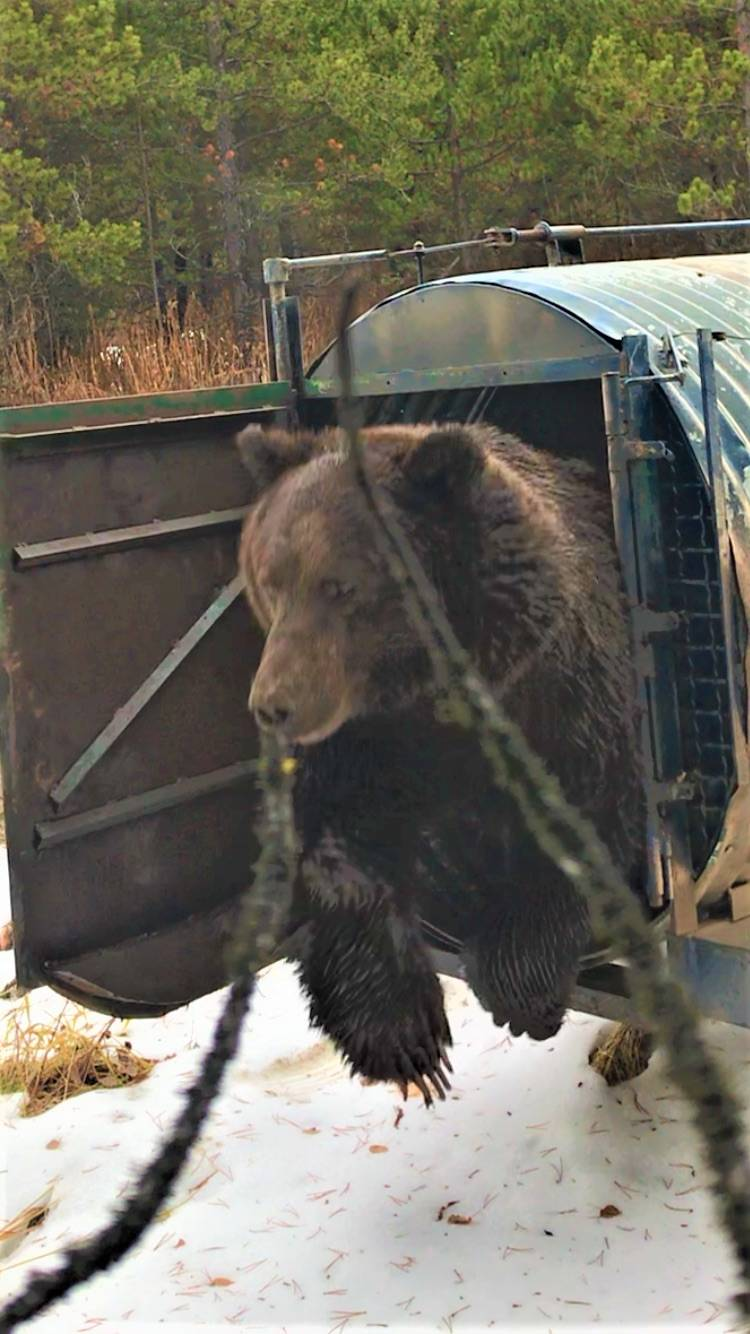 A male grizzly was captured near Smithers and relocated on Wednesday. (Photo from conservation office)